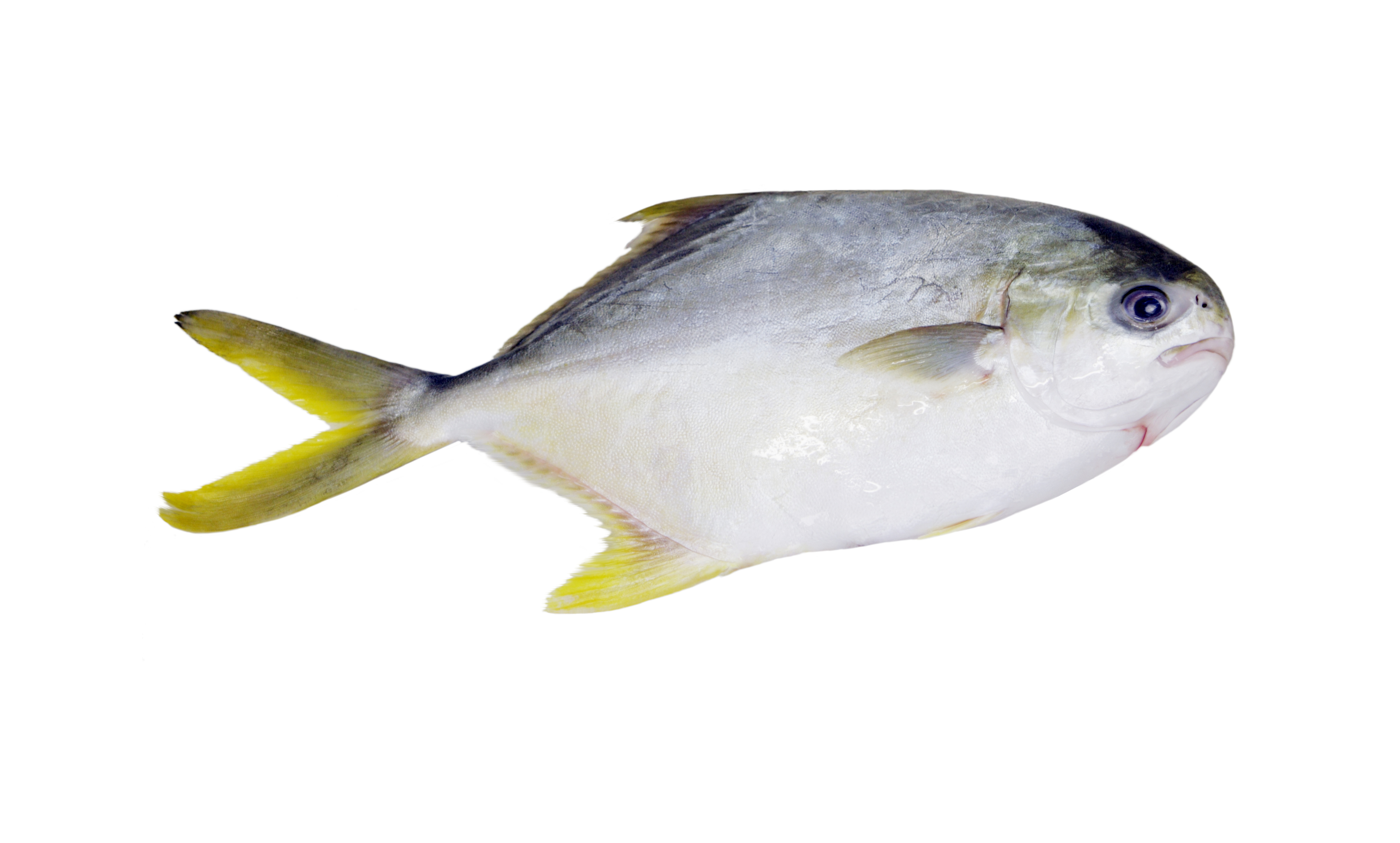Skin on pompano fillets stavis seafoods for Picture of pompano fish