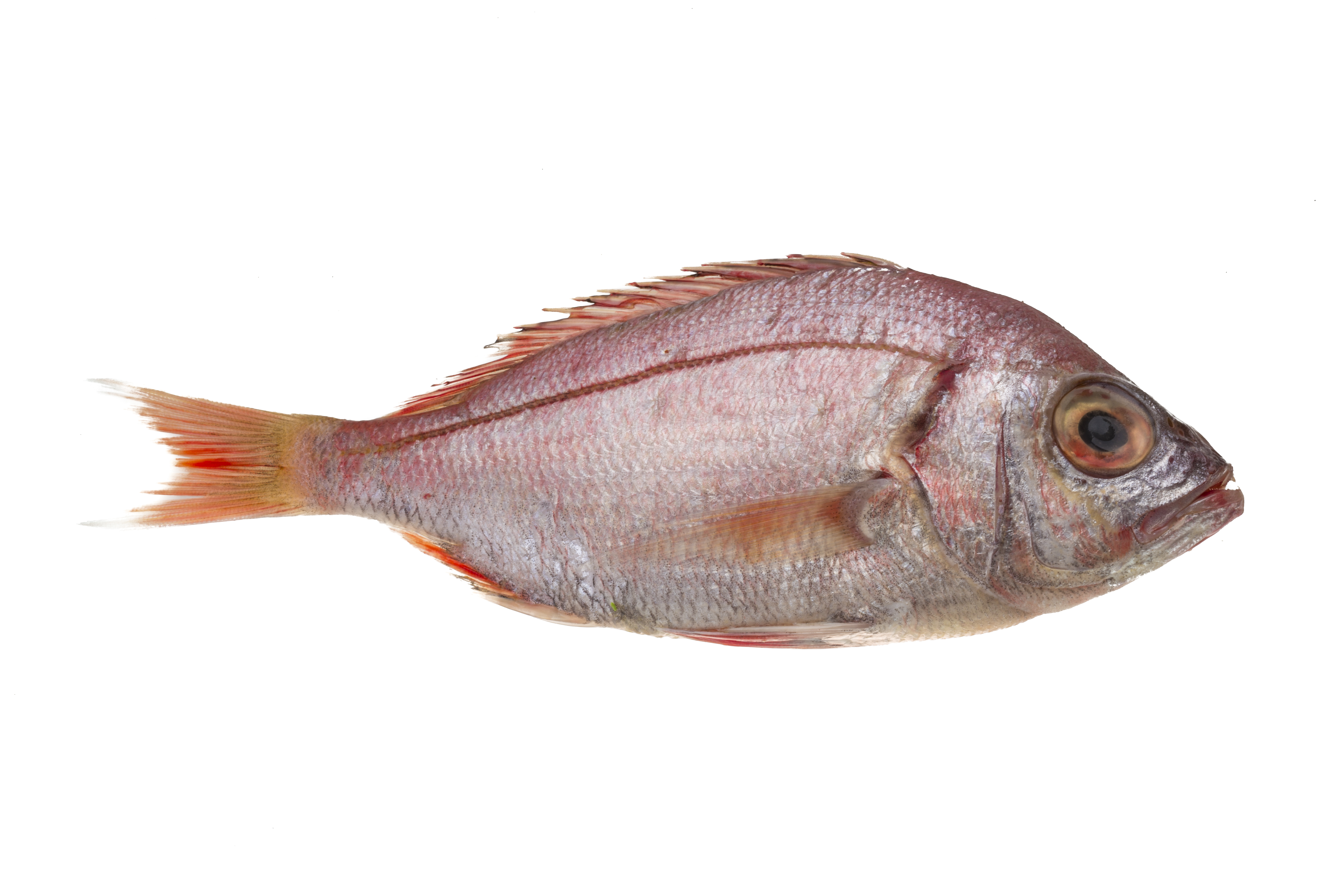 Head on gutted ocean perch redfish stavis seafoods for Ocean perch fish