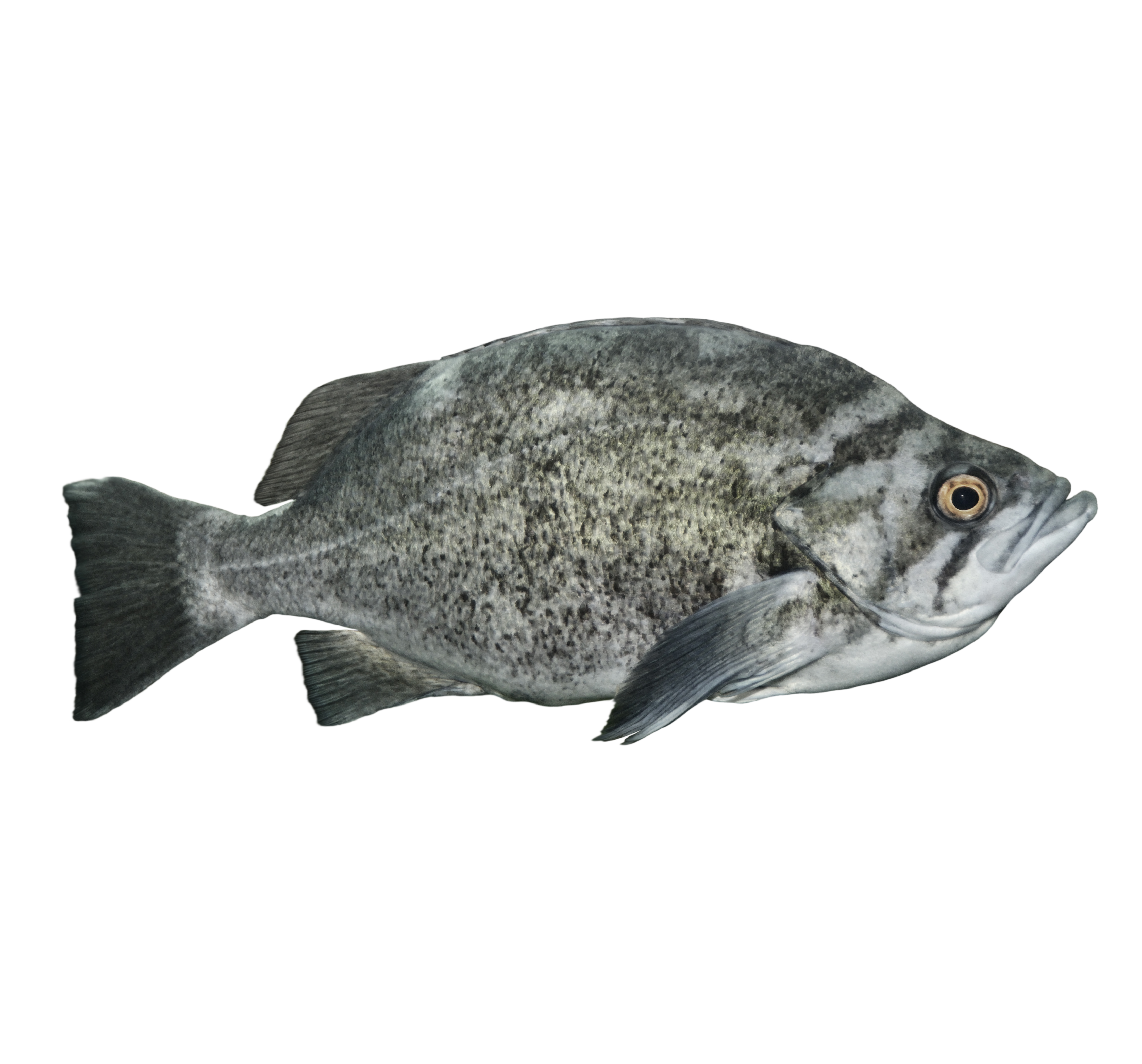 Rockfish rock cod canary rockfish rougheye rockfish for Rock cod fish