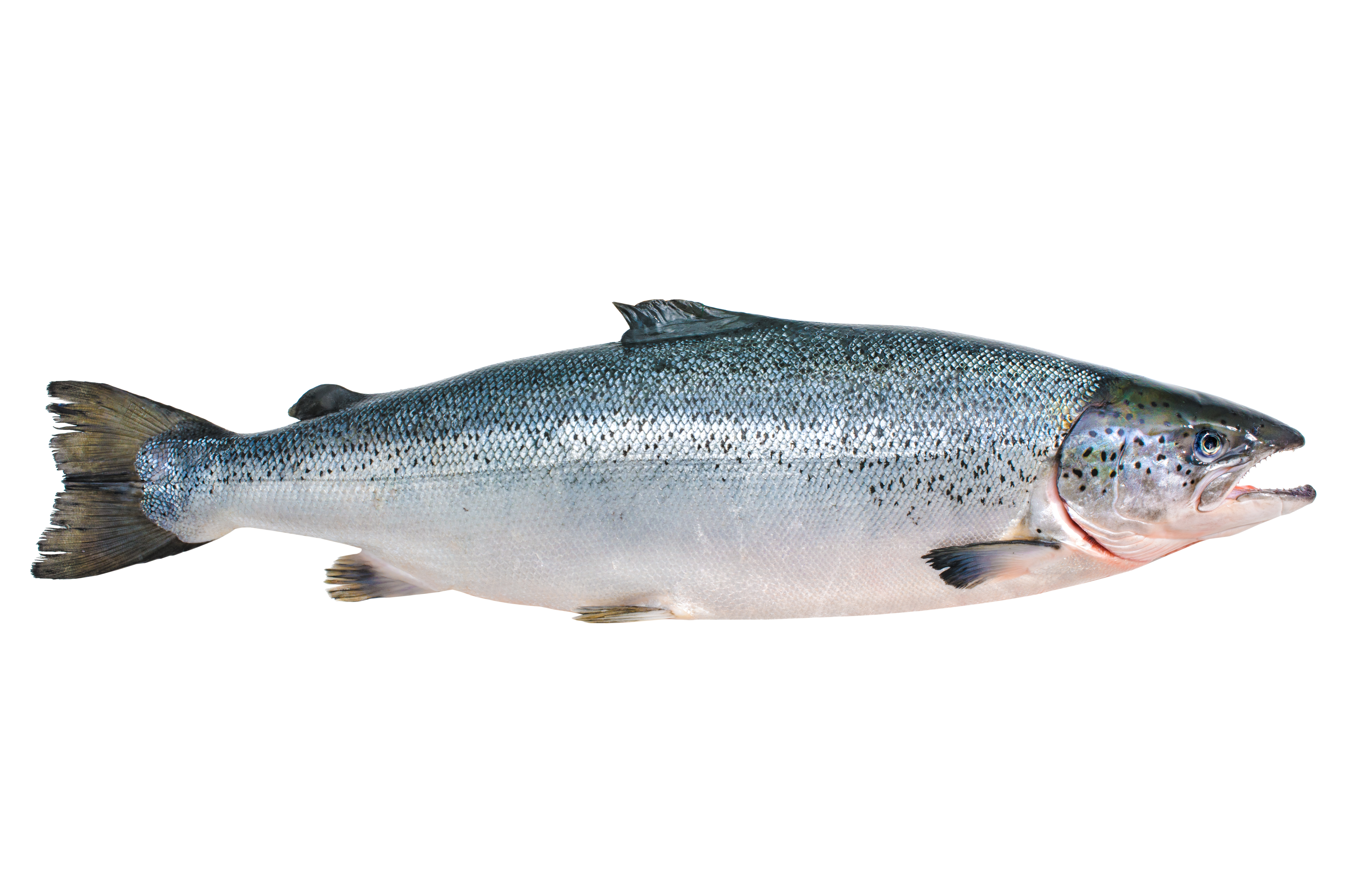 Head on gutted canadian salmon stavis seafoods for Atlantic salmon fishing