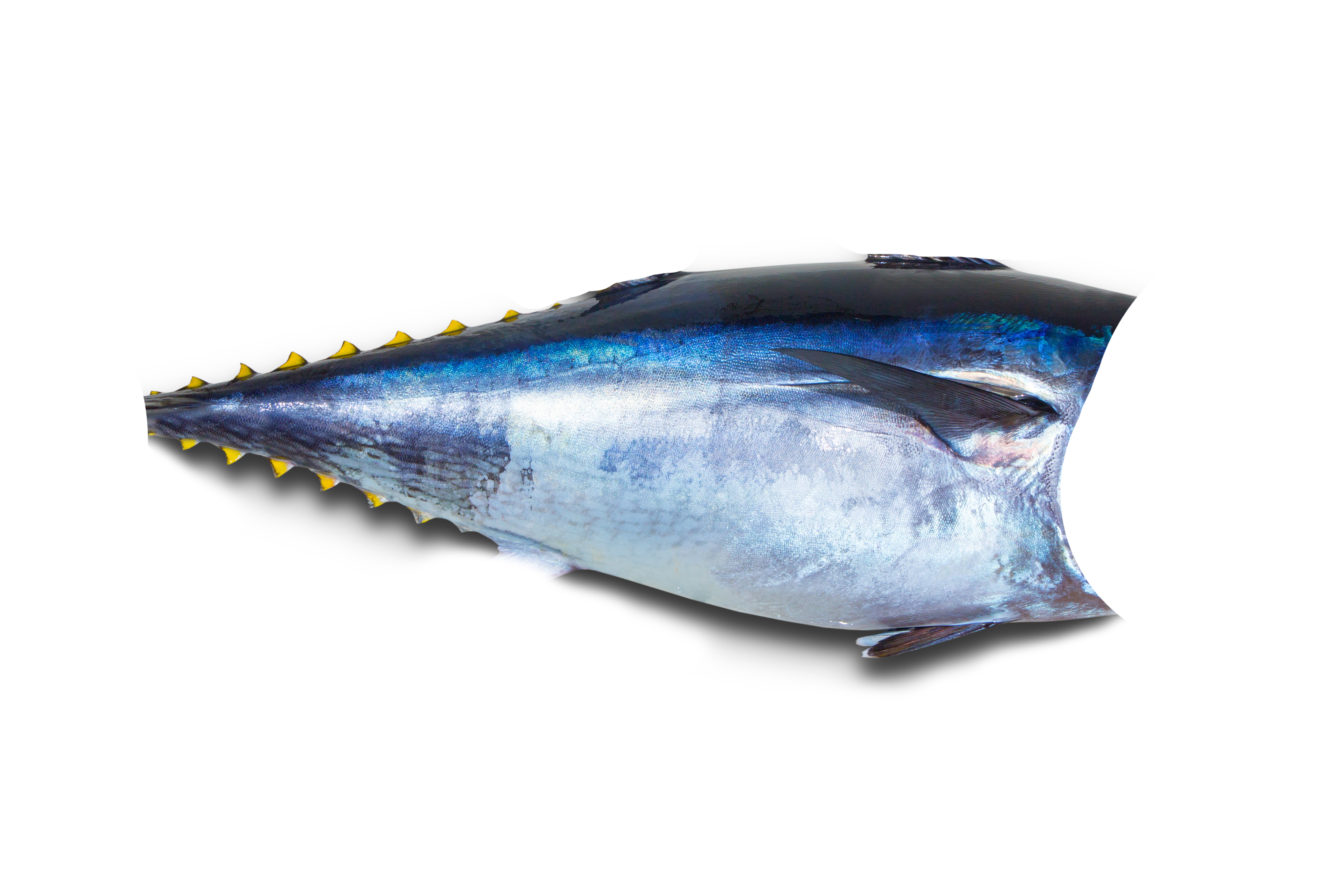 Corvina fish nutrition besto blog for Blue fin fish