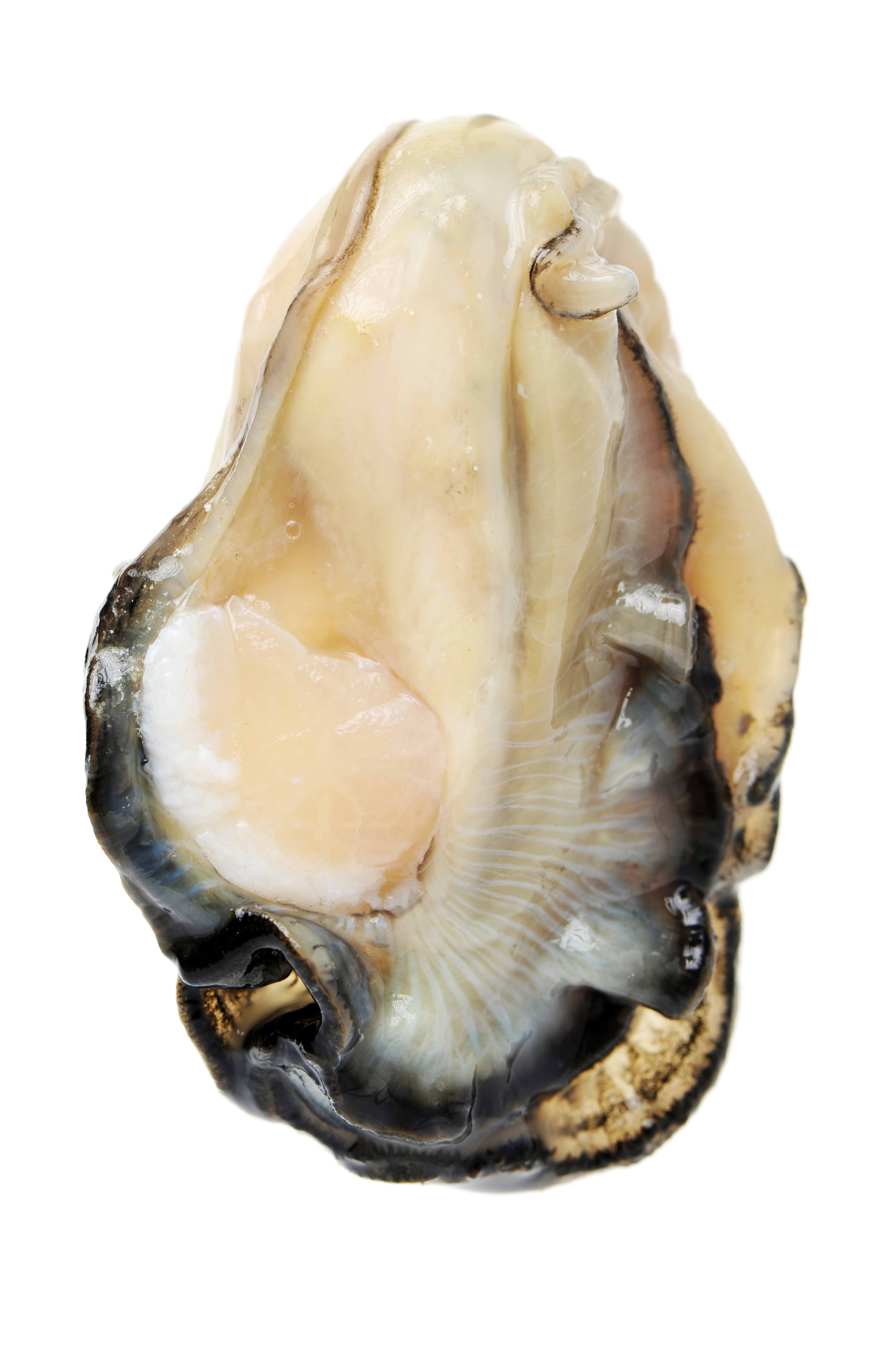 West Coast Oyster Meat | Stavis Seafoods