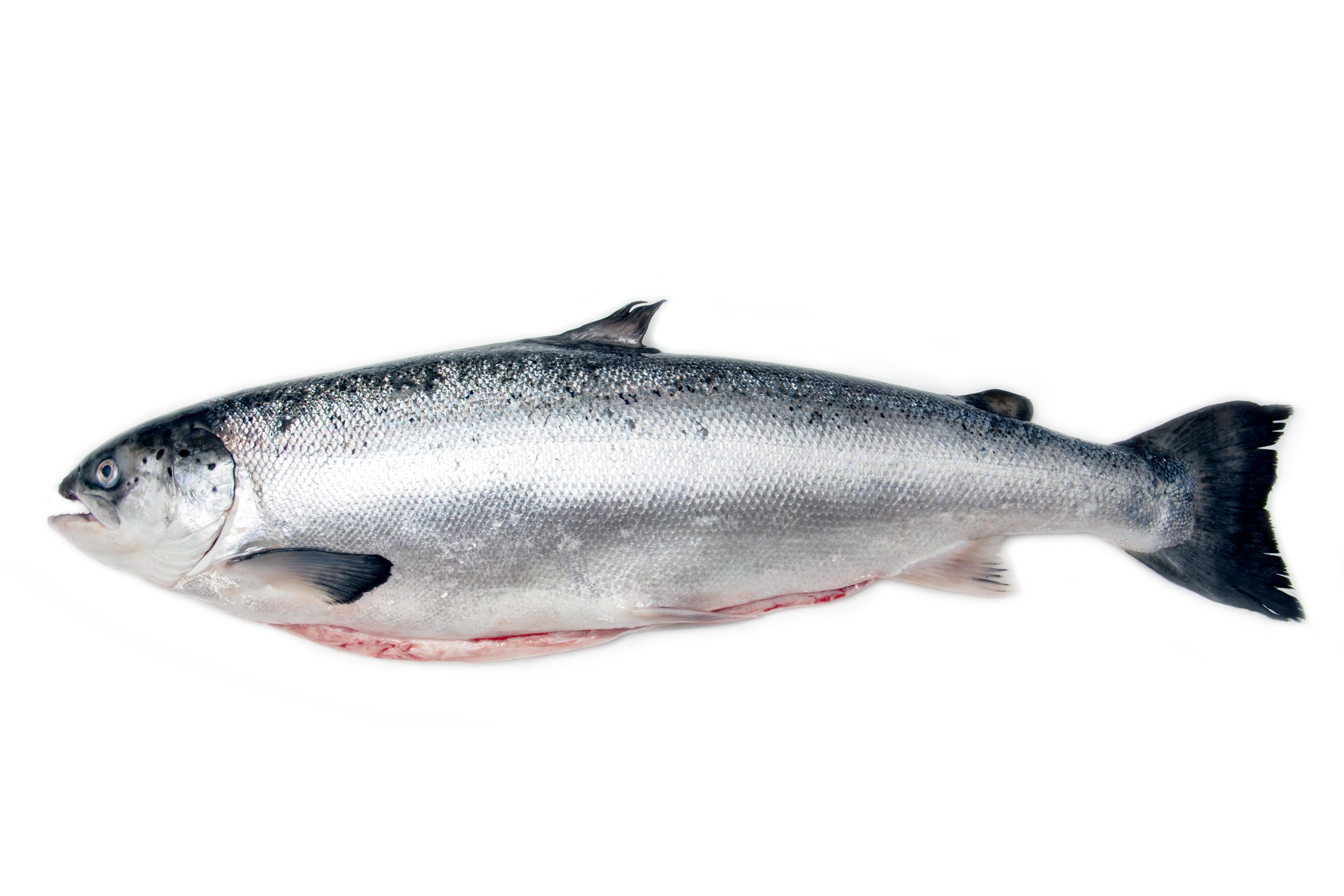 Head On Gutted Scottish Salmon Stavis Seafoods