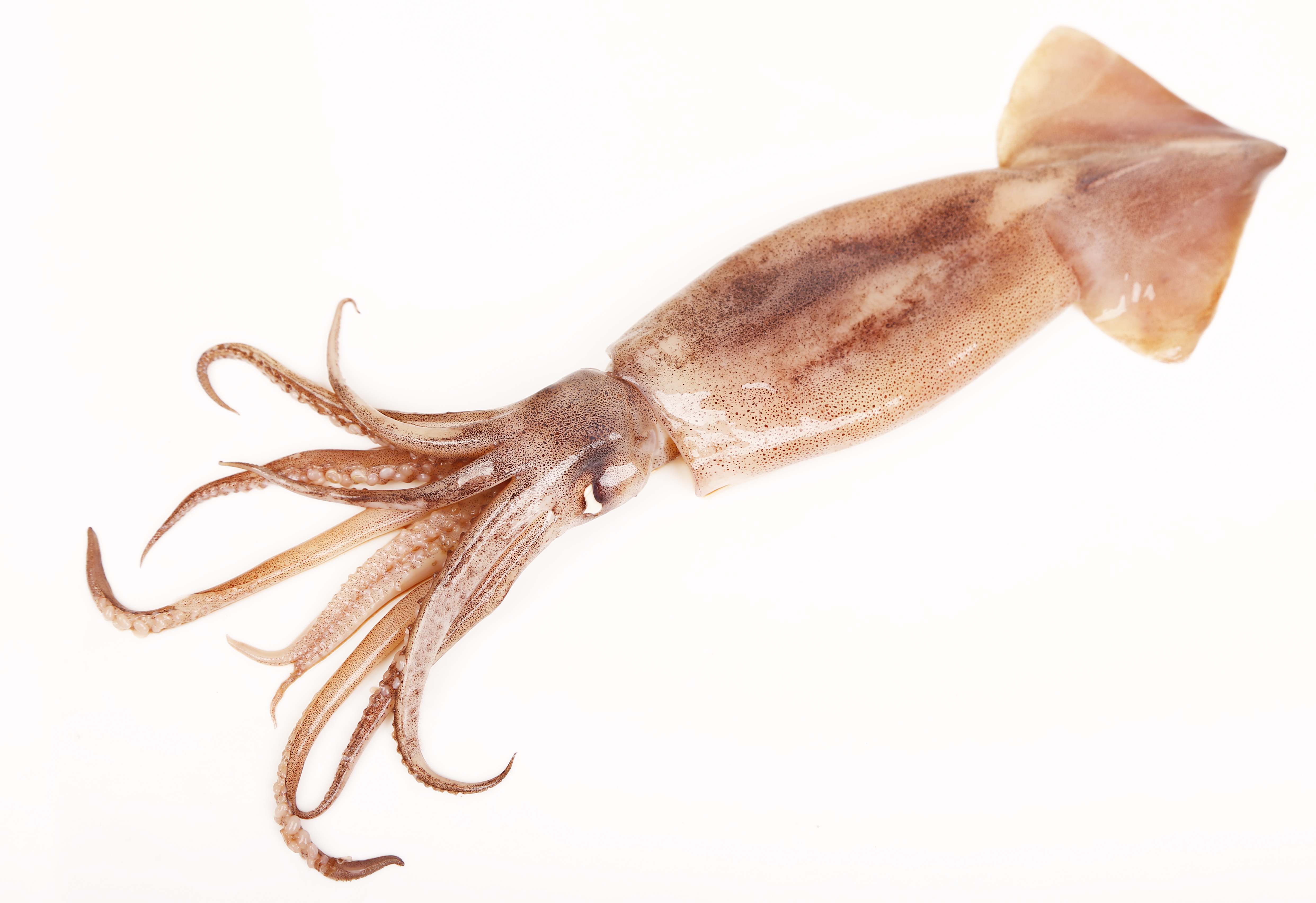 whole native squid stavis seafoods