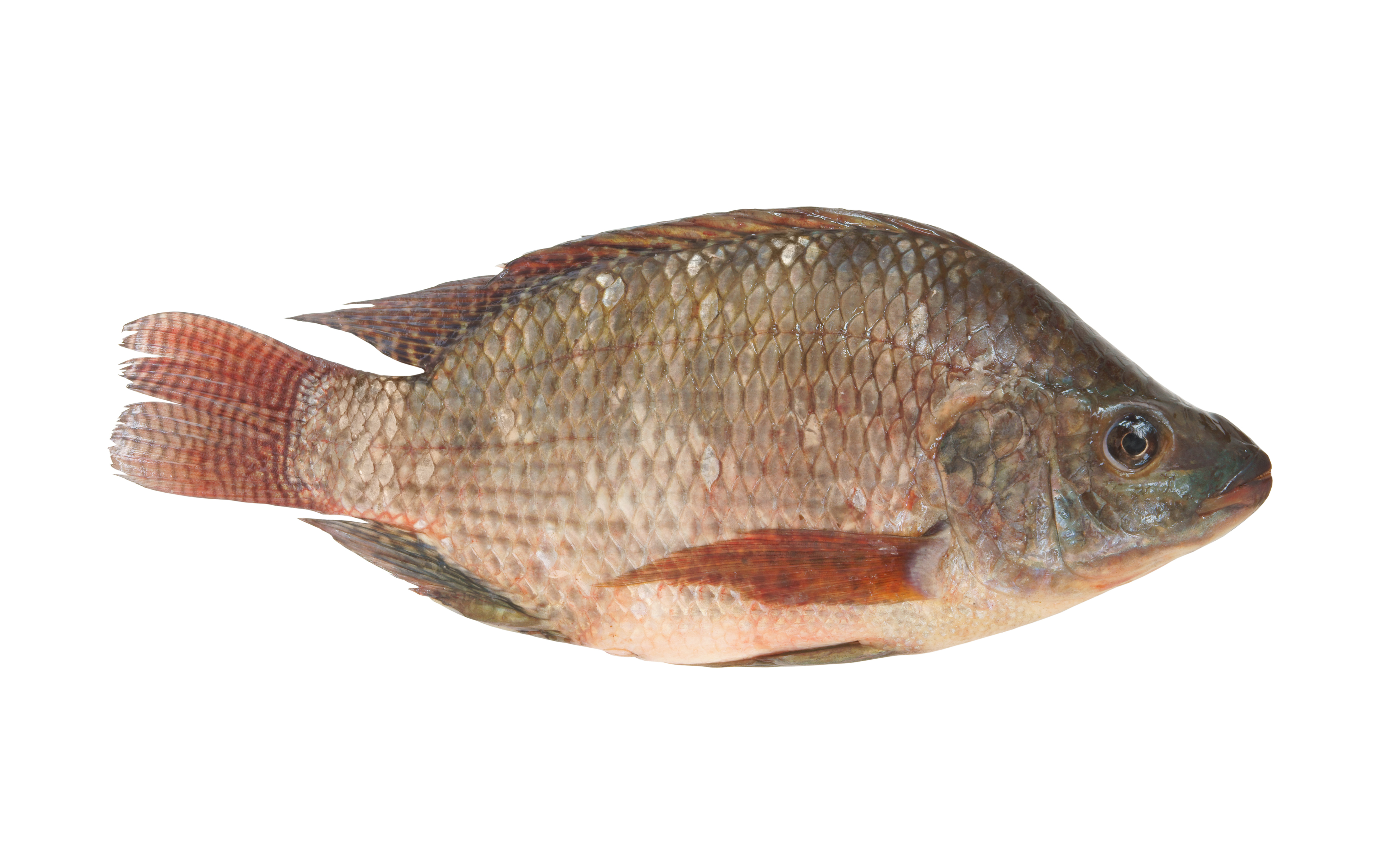 Whole Scaled Amp Gutted Tilapia Stavis Seafoods